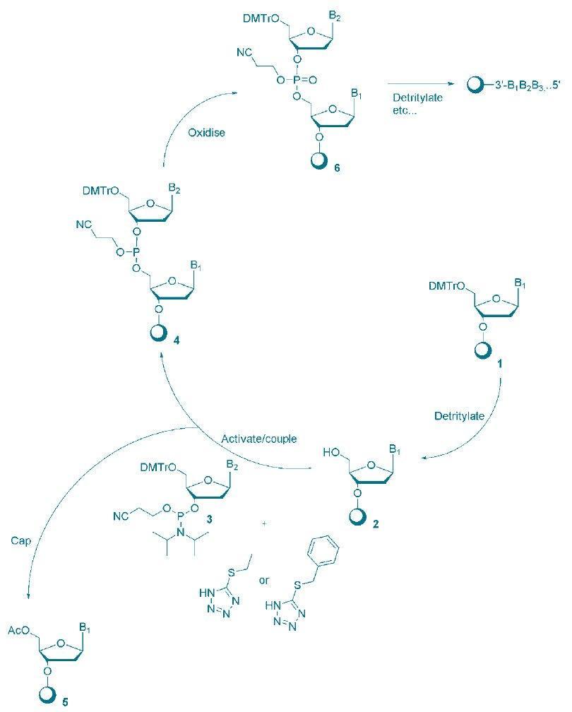 diagram of oligonucleotide-synthesis-cycle-using-phosphoramidite-chemistry