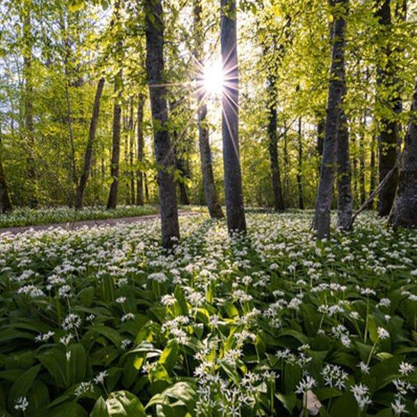 wild garlic growing in spring in England