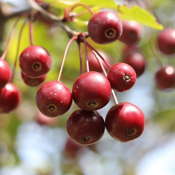 crab apples growing on a tree in the UK