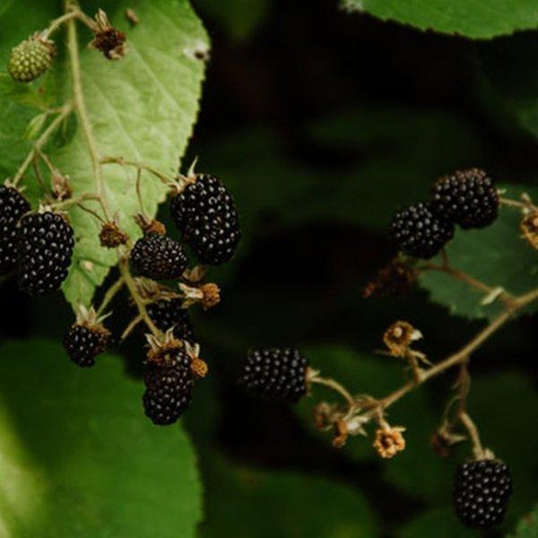 Blackberries ripe in winter in the UK