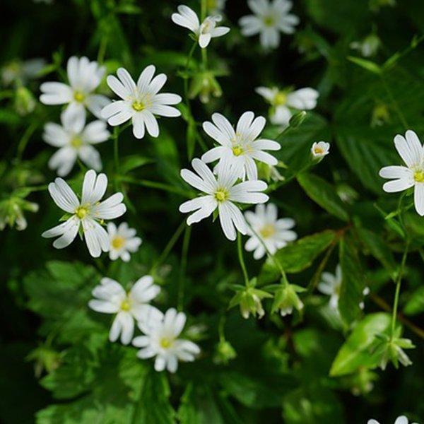 chickweed growing in a hedgerow