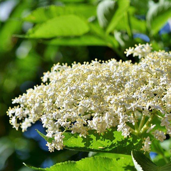 Elderflower growing in the British summer