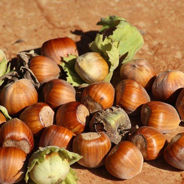 A handful of hazelnuts drying in the sun