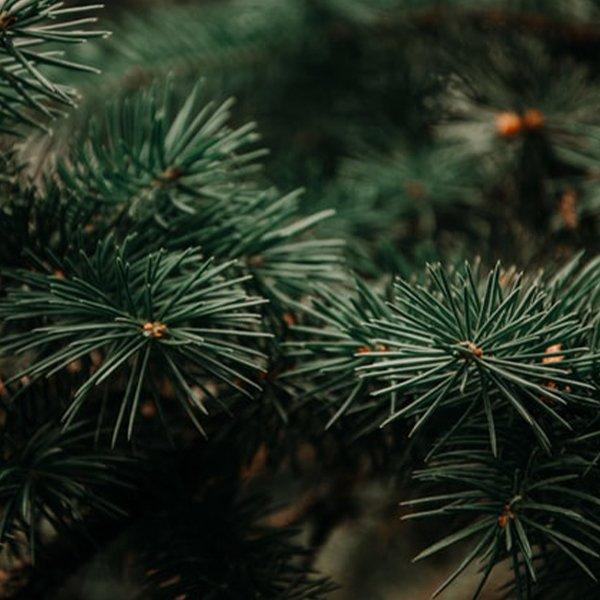 pine needles growing all year round in the UK